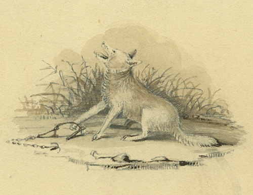 Missouri river valley history nebraska sketch of coyote with paw caught in steel trap publicscrutiny Gallery