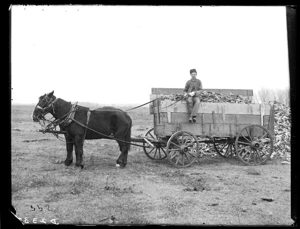 Photographer Solomon D. Butcher depicted the corn harvest near Lexington in Dawson County in 1905. NSHS RG2608-2332
