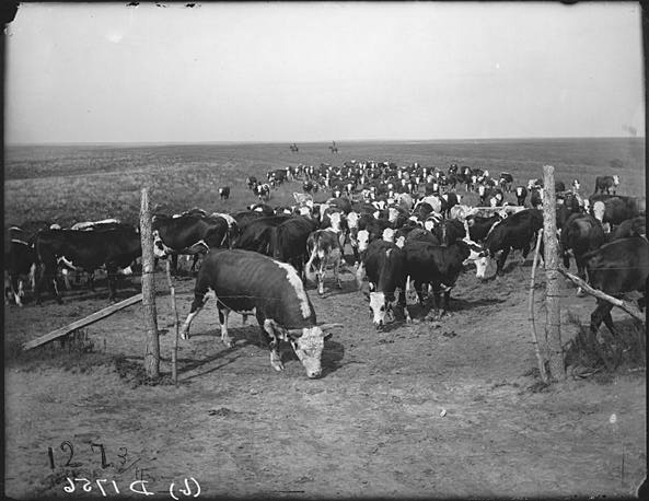 Cattle on the Mack Downey ranch [RG2608.PH1756b]