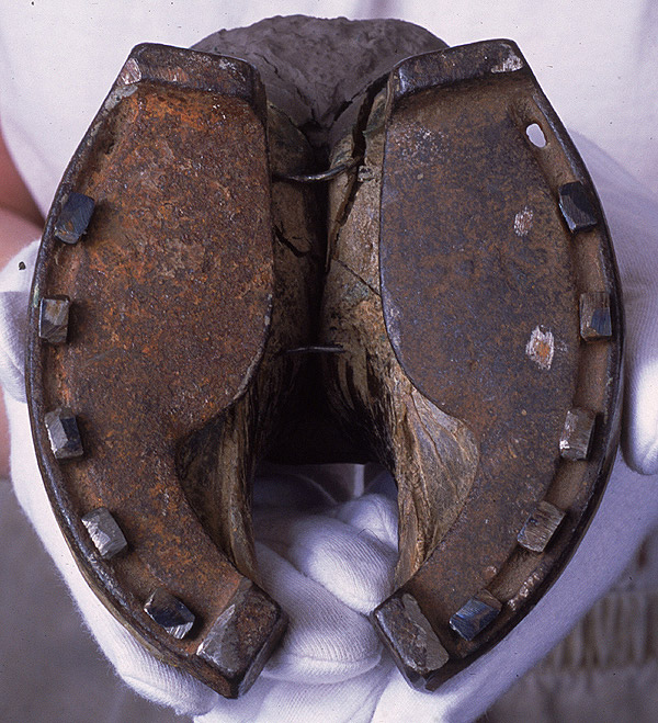 Ox shoe and hoof from a cow